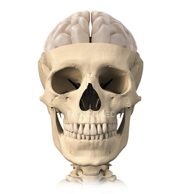 Front view of anatomy of human skull with half brain — Stock Photo ...