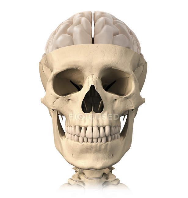 Vista frontal de la anatomía del cráneo humano con medio cerebro - foto de stock