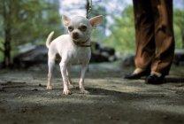 Femme promène son Chihuahua dans Central Park — Photo de stock