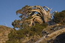 Всем ветрам и выветривания сосна в горах Сьерра-Калифорния — стоковое фото
