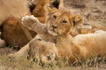 Close up view of lion cubs, Panthera leo, at Masai Mara National Reserve in southwest Kenya — Stock Photo