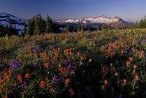 Indian Paintbrush and Lupine flowers dominate this alpine slope on Grouse Ridge, Mt. Baker Wilderness, Washington State. — Stock Photo
