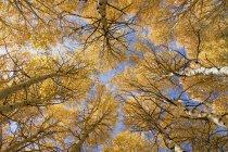 Нижній подання жовтий Аспен дерев восени в горах Сьєрра Каліфорнії — стокове фото