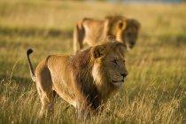 Hombres leones, Panthera leo, ojo de mantenimiento sobre dominio en reserva nacional de Masai Mara en Kenia sudoeste - foto de stock