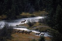 Bull elk and harem in bottoms of the Snake River — Stock Photo