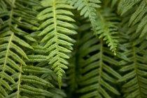 Nahaufnahme der schönen grünen Farn-Anlage-Hintergrund — Stockfoto