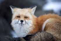 Red fox no cume do Monte Washington — Fotografia de Stock