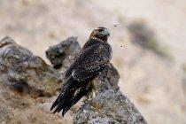 Urubu-peito preto águia na Patagônia Argentina — Fotografia de Stock