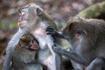 Macaque monkeys in natural habitat in Ubud on island of Bali in Indonesia — Stock Photo