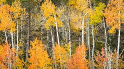 Fall Aspen in the Eastern Sierra, California — Stock Photo