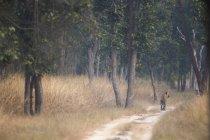 Bengal Tiger walking down an old road in India Bandhavgarh National Park — Stock Photo