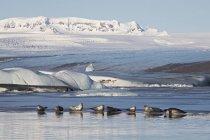 Ущільнення засмагати на лагуну льодовика Jokulsa Loni у Східній Ісландії — стокове фото