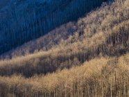 Аспен дерев схилі покриття вище Вейл, Колорадо — стокове фото