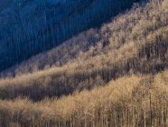 Aspen trees cover hillside above Vail, Colorado — Stock Photo