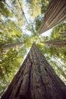 Mirando para arriba hacia el dosel de los árboles de secoya gigante en California - foto de stock