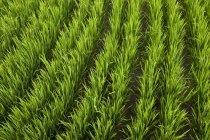 Üppige Reisanbau in einem Reisfeld in Bali, Indonesien — Stockfoto