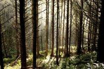 Soleil rayonnant à travers les arbres en Oregon — Photo de stock