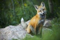 Wild red fox позах день біля зимових парк, штат Колорадо — стокове фото