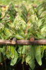 Freshly cut tobacco leaves dry in the open air in the Viales valley, near Viales, Cuba — Stock Photo