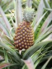 Close up view of ripe pineapple at Selkirk Farm, Mulatre, Dominica — Stock Photo