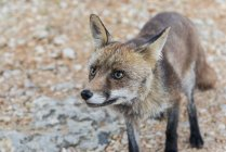 Крупным планом вид диких лисицы в Серра да Аррабида, Португалия — стоковое фото