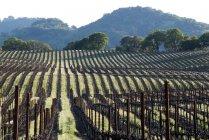 Dava un vigneto piantato su dolci colline nella denominazione Alexander Valley della Sonoma Wine Country nella primavera vicino a Healdsburg, Ca — Foto stock