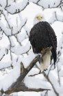 Weißkopf-Seeadler thront auf verschneiten Haken (Haliaeetus Leucocephalus), Haines, Alaska — Stockfoto