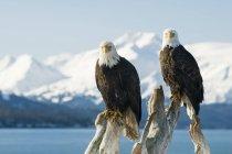 Лисі орли Підносячись на мертві заковика з гір й океану у фоновому режимі (Haliaeetus leucocephalus), Гомер, Аляска — стокове фото