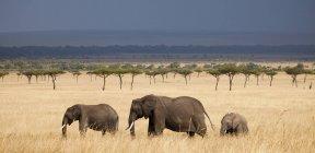 Drei afrikanische Elefanten zu Fuß durch einen Strang von Akazien mit einem drohenden Gewitter über in Kenia Masai Mara National Reserve — Stockfoto