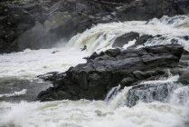 Пара Велика блакитна чапля летить над Грейт-Фоллс Потомак річці Чесапикского і Огайо канал Національний історичний парк — стокове фото