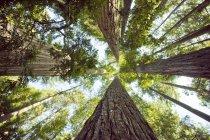 Vista inferior de los árboles de secoya gigante en California del norte, Estados Unidos - foto de stock