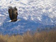 Águila calva (Haliaeetus leucocephalus) en vuelo contra las montañas - foto de stock