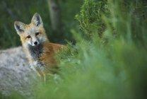 Wild red fox poses by his den near Winter Park, Colorado — Stock Photo