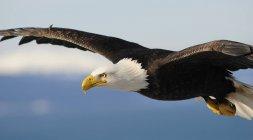 Close up view of Bald Eagle in flight (Haliaeetus leucocephalus), Homer, Alaska — Stock Photo