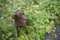 Vue d'angle élevé de chien vérifiant les cours d'eau forestier — Photo de stock