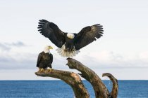 Bald eagle birds(Haliaeetus leucocephalus) on dead tree, Homer, Alaska — Stock Photo