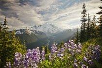 Purple Lupin (Lupinus perennis) grow across valley from Mount Ranier, Washington , USA — Stock Photo
