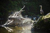 Great Blue Heron arroccato sulla roccia attese per preda a nuotare passato lui nel fiume. — Foto stock