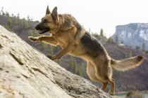 German Shephard dog runs up a sandstone slope near Durango, Colorado — Stock Photo