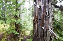 Bark peels off of a Cedar tree at Callaghan Lake — Stock Photo