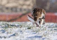 Falco che mangia un uccello più piccolo, in un parco coperto di neve nel centro di Rochester — Foto stock