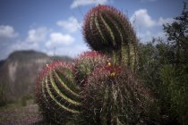 Close-up vista de Ferocactus wislizenii cacto em Wirikuta, Real de Catorce, San Luis Potosi, México — Fotografia de Stock
