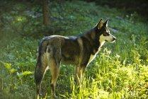 Husky se dresse dans une clairière de montagne ensoleillé au Colorado Yampa — Photo de stock