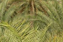 Palmeras en el Oasis de Al Ain, emirato de Abu Dabi, Emiratos Árabes Unidos - foto de stock