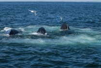 Whales feed in the rich waters off the coast of Cape Cod, MA — Stock Photo