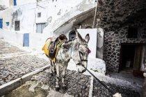 Cute mule on old street at Santorini, Greece — Stock Photo