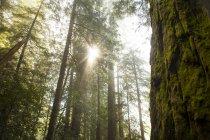 Мальовничим видом секвої Національний парк — стокове фото