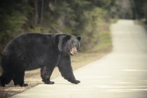 Large Black Bear crosses a paved road surrounded by forest — Stock Photo