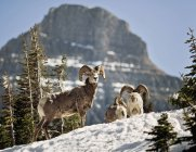 Bighorn Sheep stand in a snowfield at Logan Pass in Montana Glacier National park — Stock Photo
