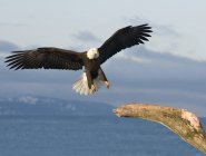 Bald eagle (Haliaeetus leucocephalus) landing on dead tree, Homer, Alaska — Stock Photo